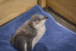 "It's time to meet littlest Little Penguin, ""Dave"""