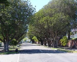 Puriri Tree Napier City Council